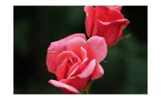 Как удачно вырастить розу в защищенном грунте?