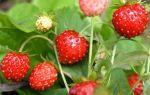 Сорта и разновидности земляники