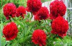 А какие они, цветы пионы? Их разновидности, фото
