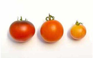 Самые распространенные болезни томатов