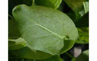 Щавель на огороде: болезни и вредители