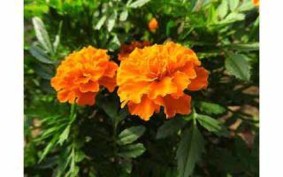 Растения-инсектициды и полезные цветы в саду и огороде