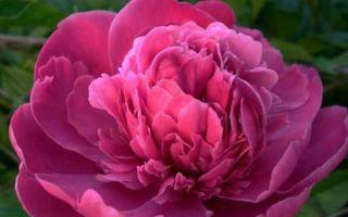 Неповторимые пионы  — выращивание из семян