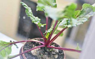 Выращивание свеклы рассадой