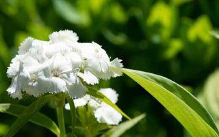 Выращивание флоксов и уход