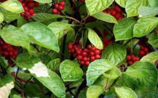 «Незнакомые» растения-лекари