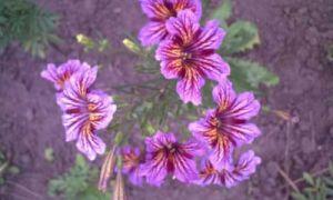 Сальпиглоссис. Отзывы и рекомендации опытных садоводов