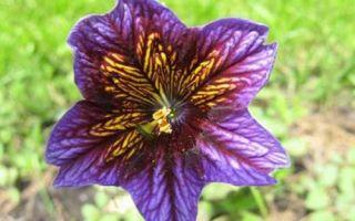 Сальпиглоссис Али Баба. Выращивание красивых цветов для клумбы из семян. Фото