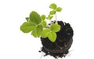 Рассада земляники, выращивание из семян