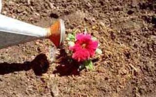 Уход за петунией, выращивание, размножение