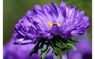 Звездный цветок — астра