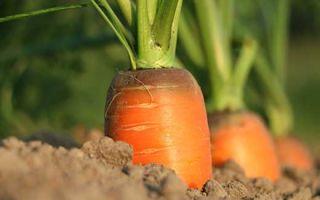 Выращивание моркови и защита от вредителей
