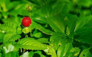 Как ухаживать за земляникой и увеличить урожай?