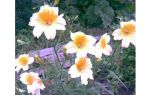 Цветок сальпиглоссис, фото. Ажурный представитель экзотики
