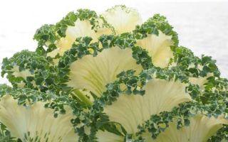 Декоративная капуста: выращивание