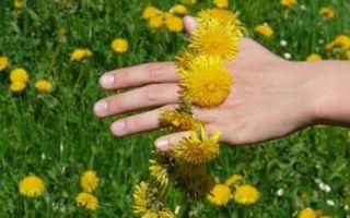 Одуванчик: злостный сорняк или кладовая здоровья?