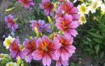 Сальпиглоссис выращивание из семян, фото. Когда, как и где посеять семена сальпиглоссиса? Советы