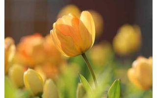 Сад и огород. Посадка тюльпанов