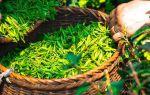 Зеленый чай. Правильно употребляем и наслаждаемся