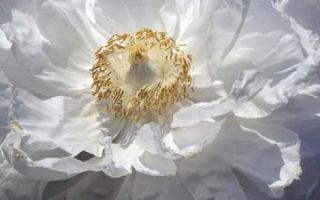 Пион древовидный: император цветов