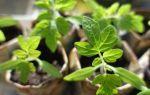 Помидоры: от семян до рассады