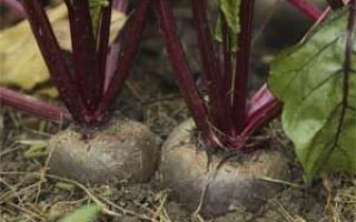 Выращивание и хранение свеклы
