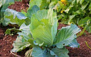 Как вырастить капусту, сорта капусты