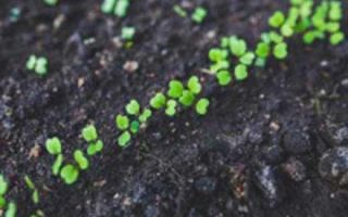 Руккола — растение-афродизиак