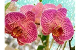 Отцвела орхидея, что делать?