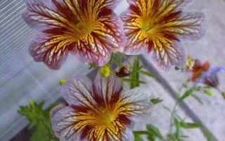Сальпиглоссис Вельвет Долли, фото. Выращивание из семян, как?