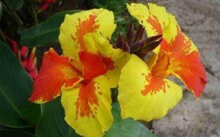 Цветы канны: размножение и уход