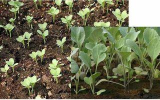Выращивание цветной капусты и брокколи