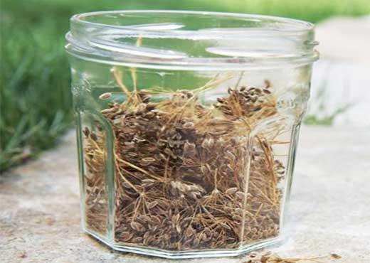 Семена укропа можно купить, либо собрать осенью